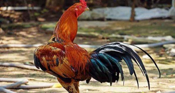 Penyakit Ayam Mematikan
